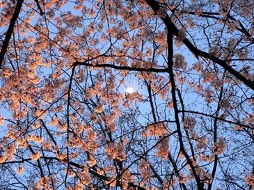 Sakura2004152