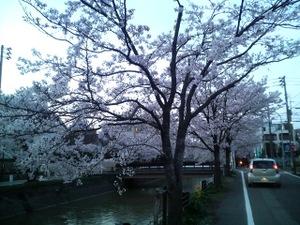 Sakura230424