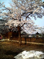 Sakura2404251