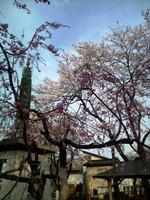 Sakura2404252