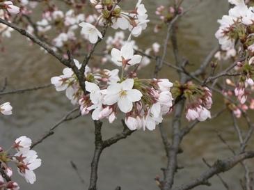 Sakura04083