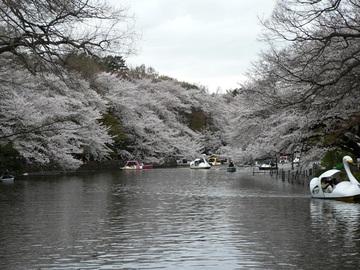 Sakura_0402