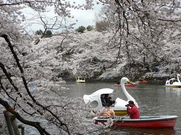 Sakura_04022