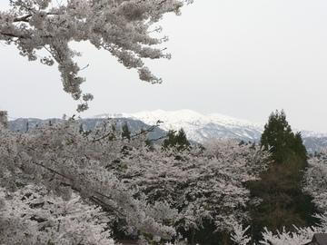 Sakura_0426
