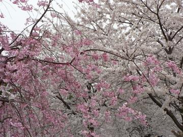 Sakurahakusan1_2