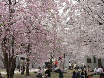 Sakurahakusan3