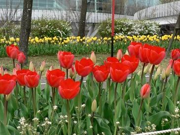Tulip04181