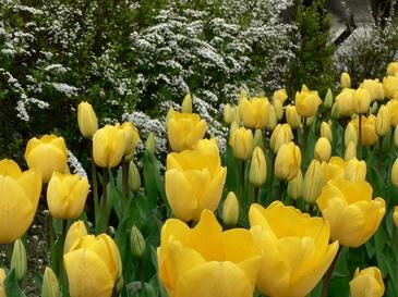 Tulip04182